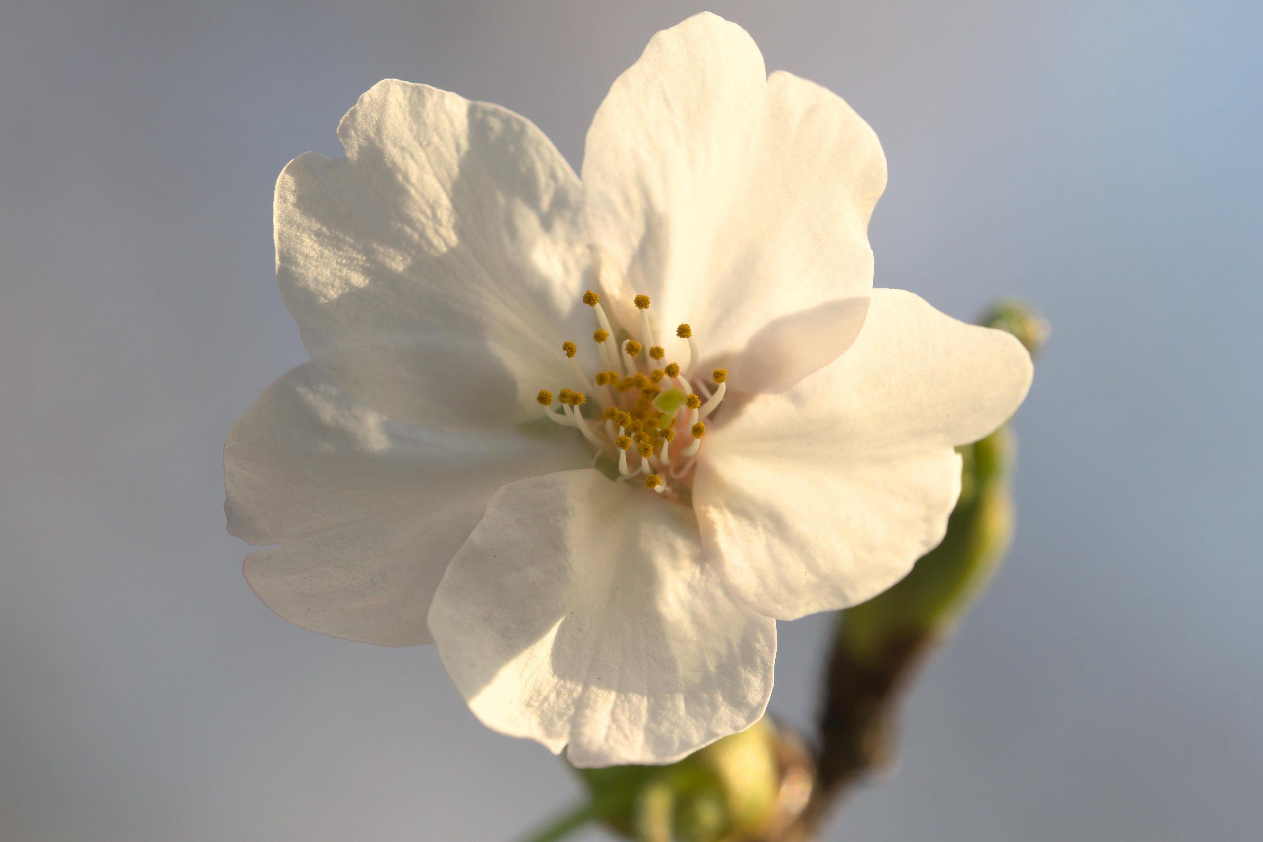 【マイストックフォト】α77II 去年撮った近所の公園の桜たち