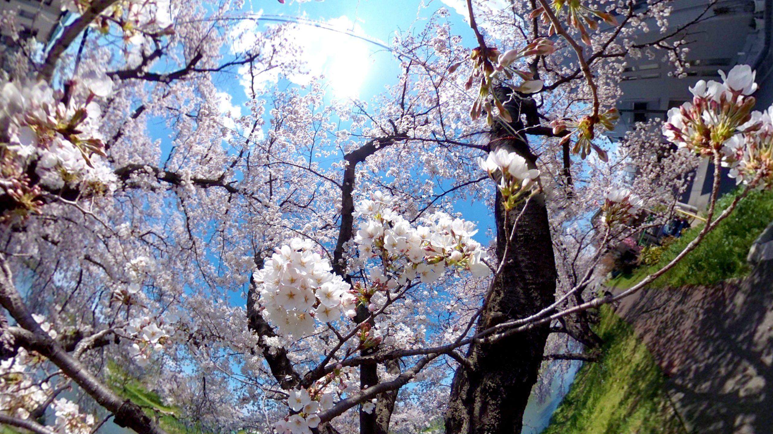 【RICOH】去年の桜を見返して