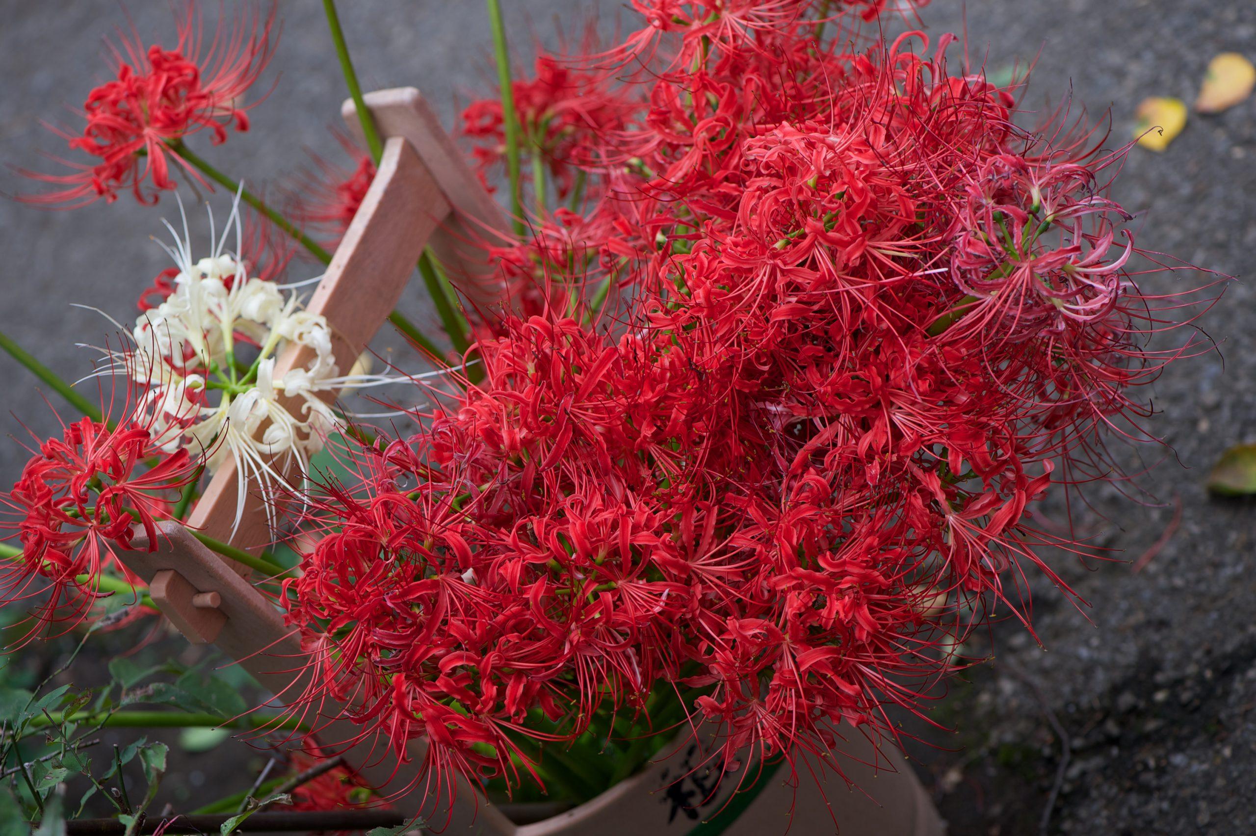 【秋、色撮りどり】Nikon D4 で撮る彼岸花