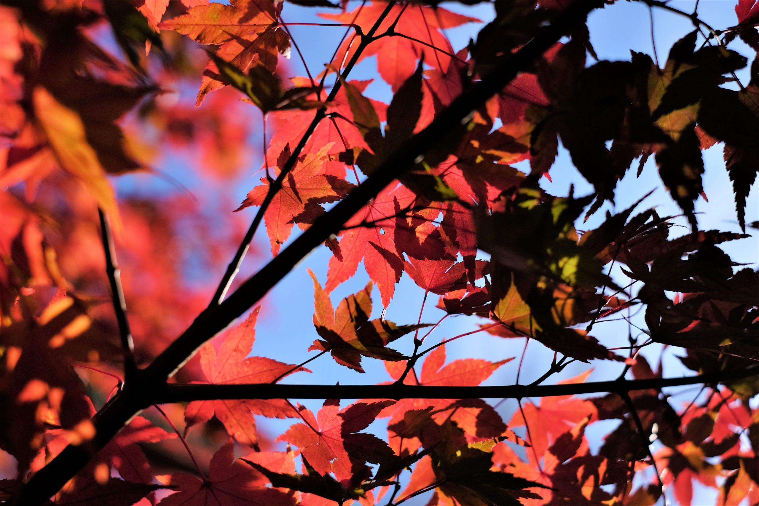 【FUJIFILM】私の紅葉撮影に欠かせないレンズ「FUJINON XF 35mm F1.4 R」