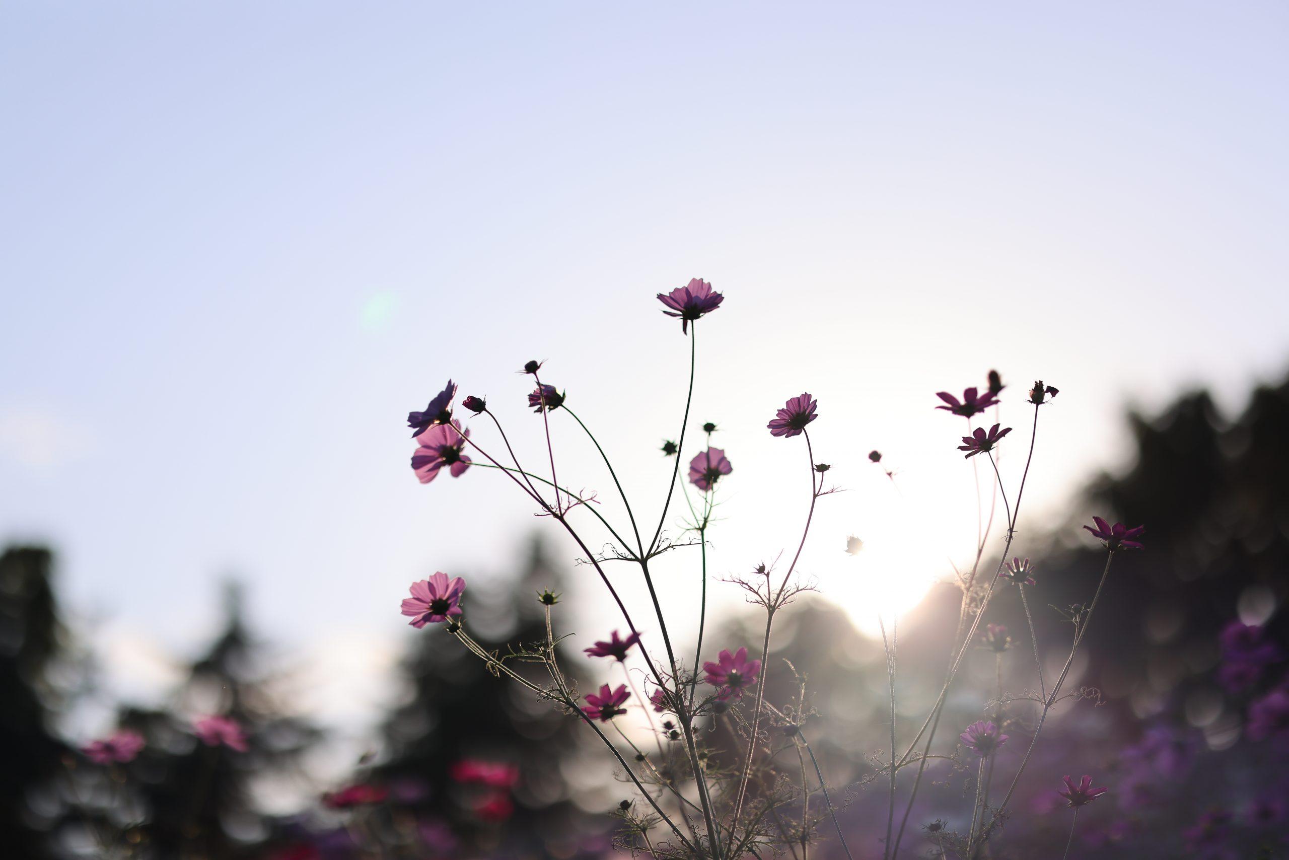 【Go To フォト】Canon 最新ミラーレスカメラとレンズで撮る秋桜