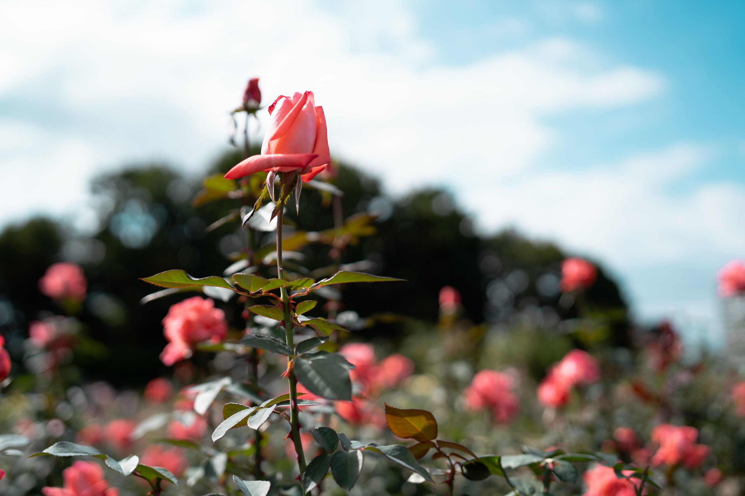 【SONY】Batisで撮る秋薔薇