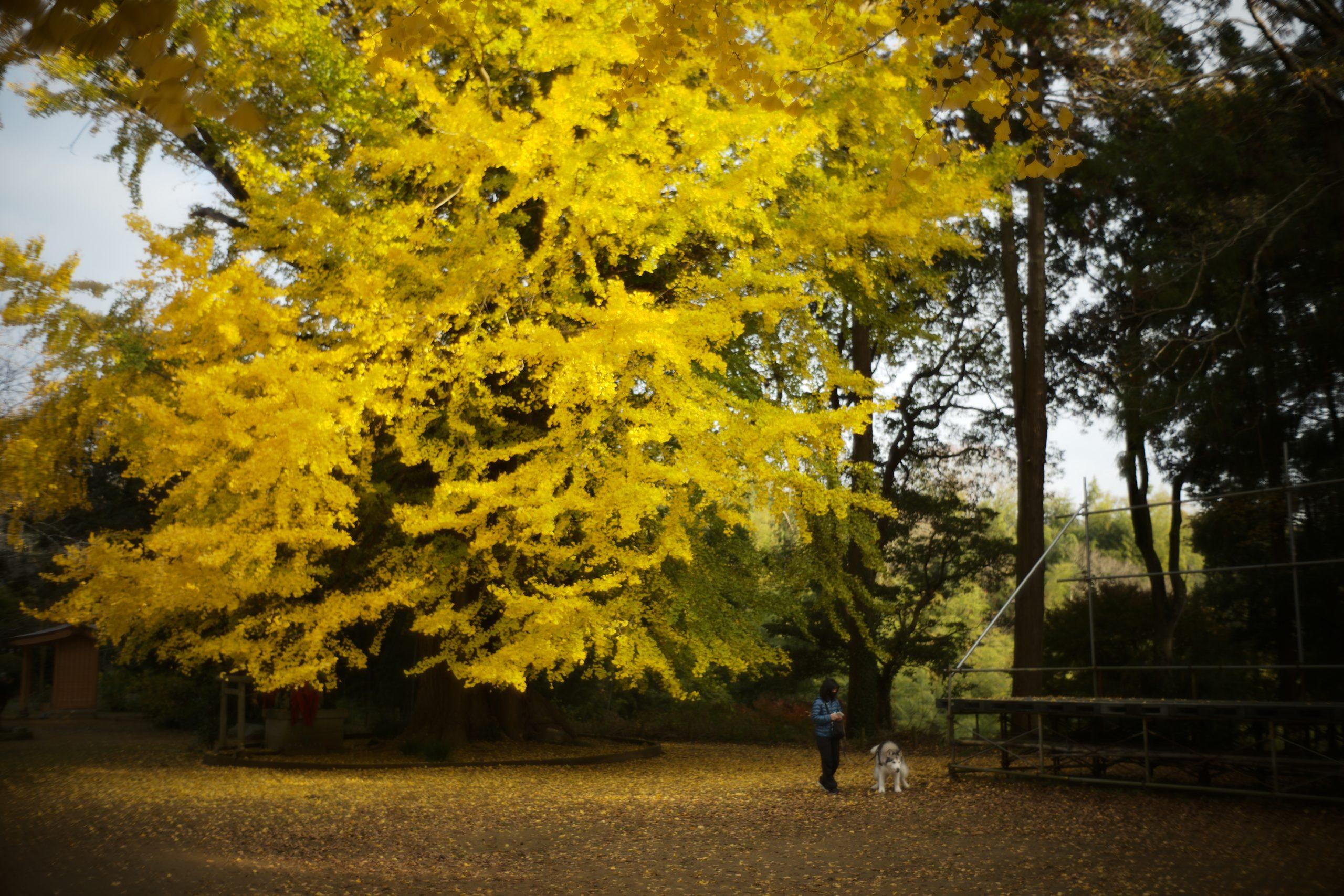 【Leica】ズミルックスとノクティルックスで紅葉、夜景を撮る