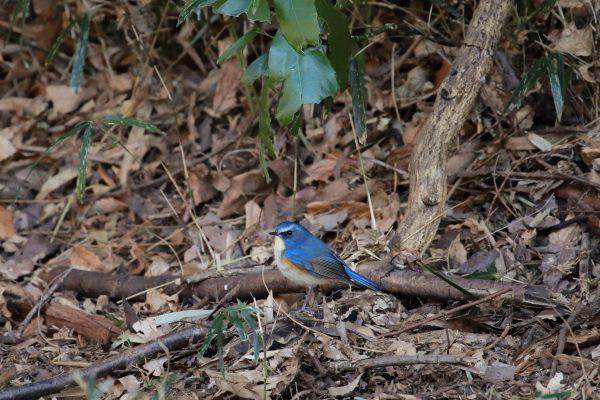 【Canon】「幸せの青い鳥」ルリビタキを追った日