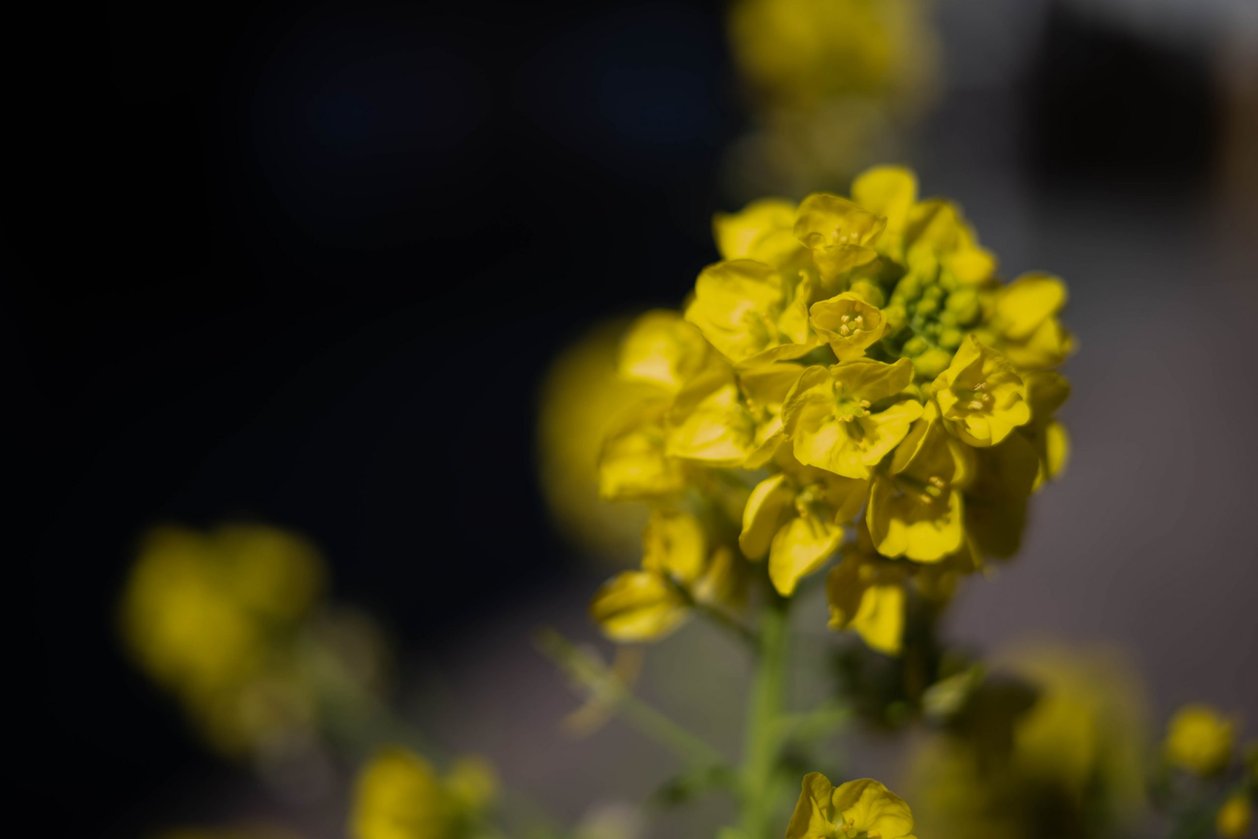 菜の花を近接