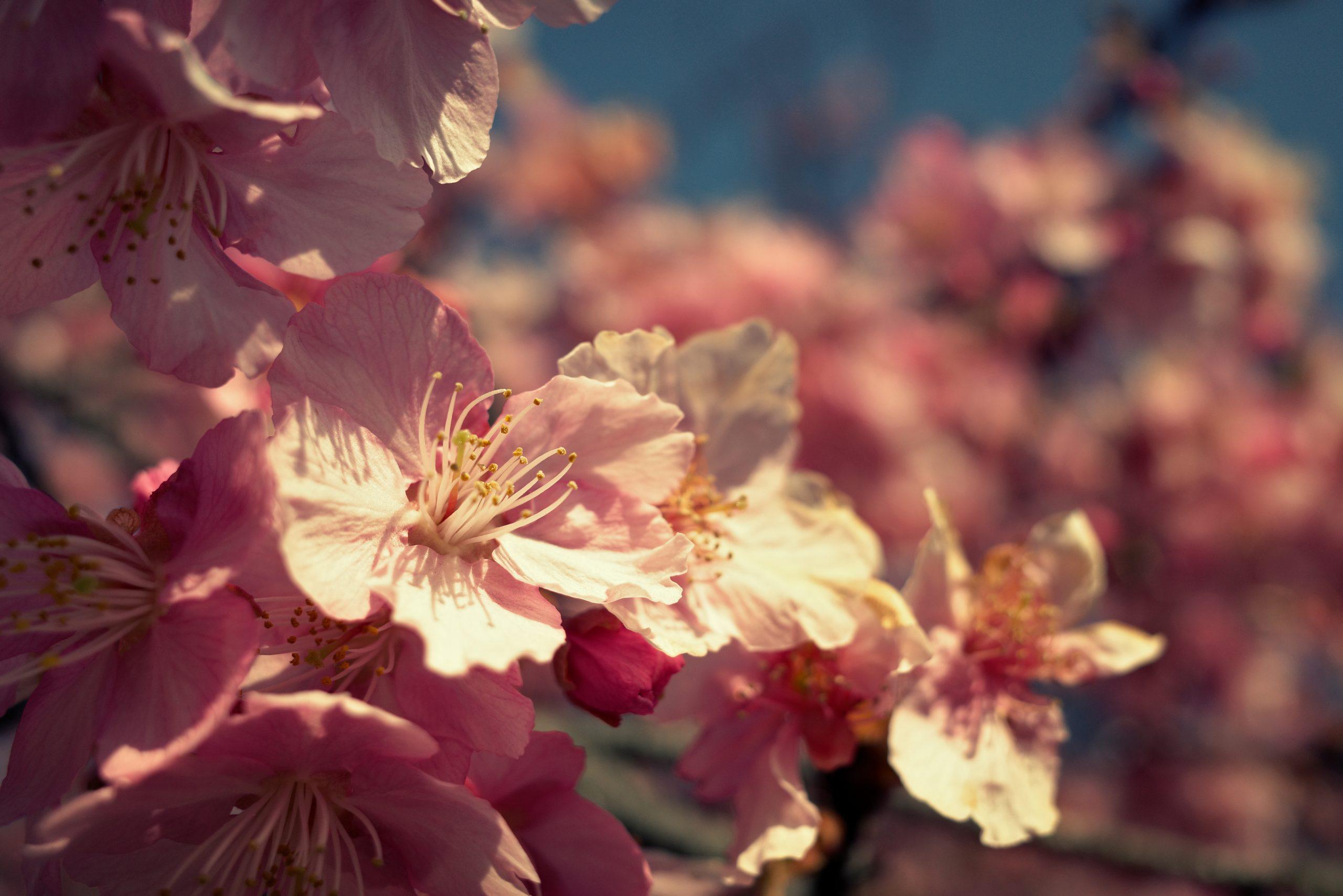 【RICOH】GR IIIで河津桜を撮る
