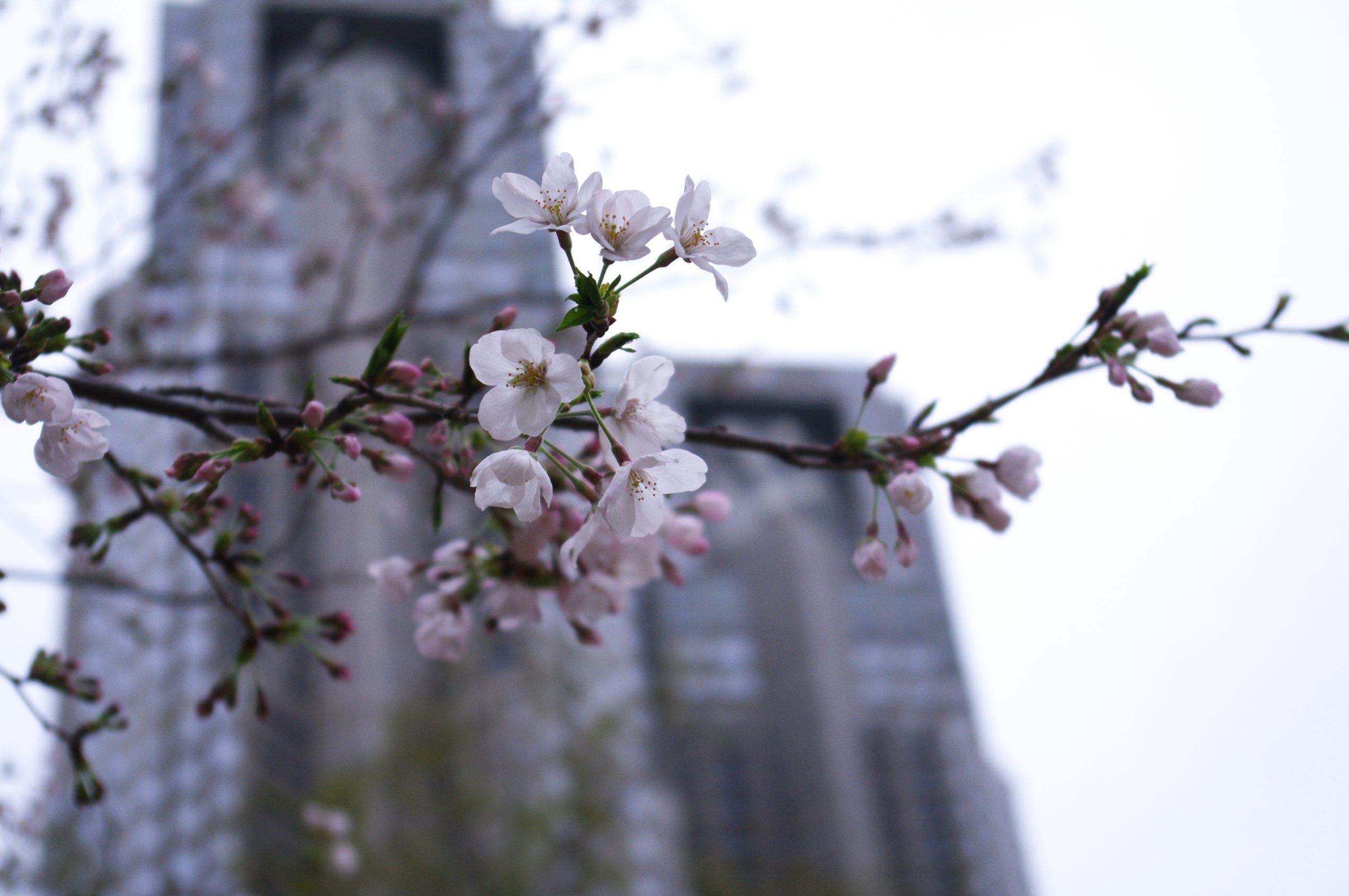 【PENTAX】新宿中央公園の桜