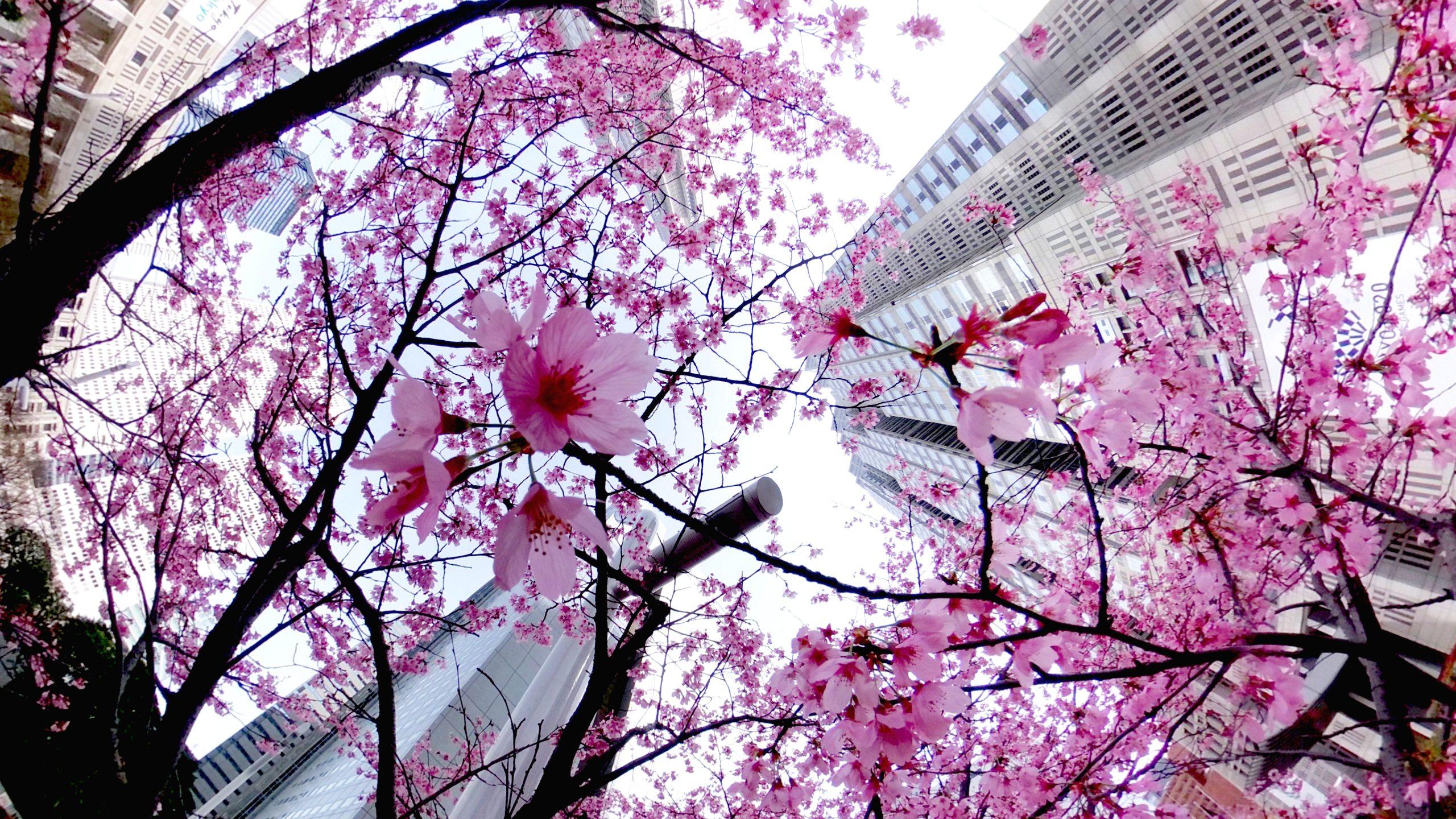 【RICOH】THETA Z1で開花宣言後の桜を撮ってくる