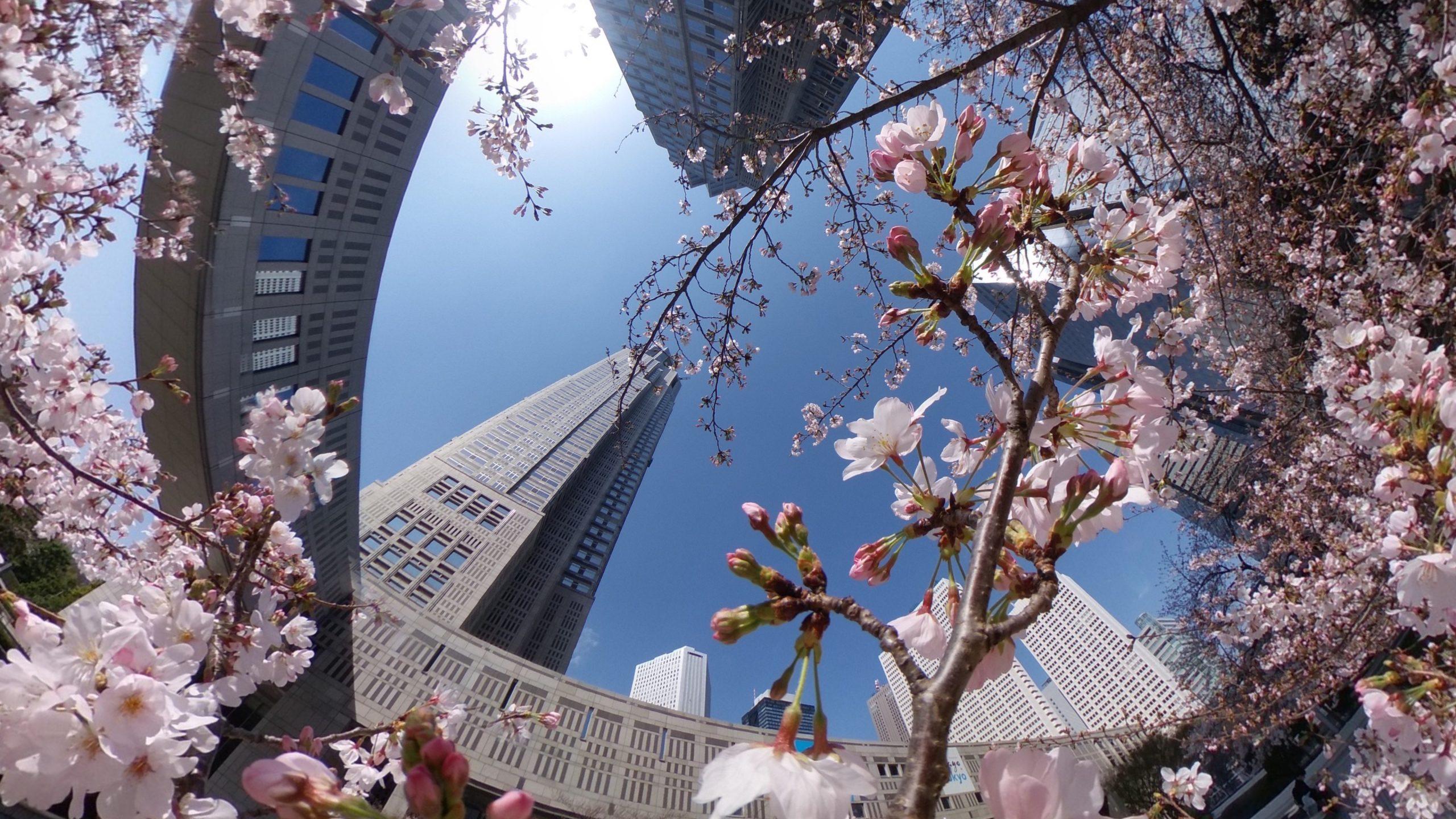 【RICOH】新宿都庁でいい感じに咲いているソメイヨシノをTHETA Z1で撮ってきた