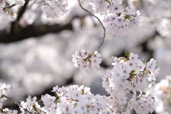 【FUJIFILM 】X-Pro3と春爛漫サクラレンズ