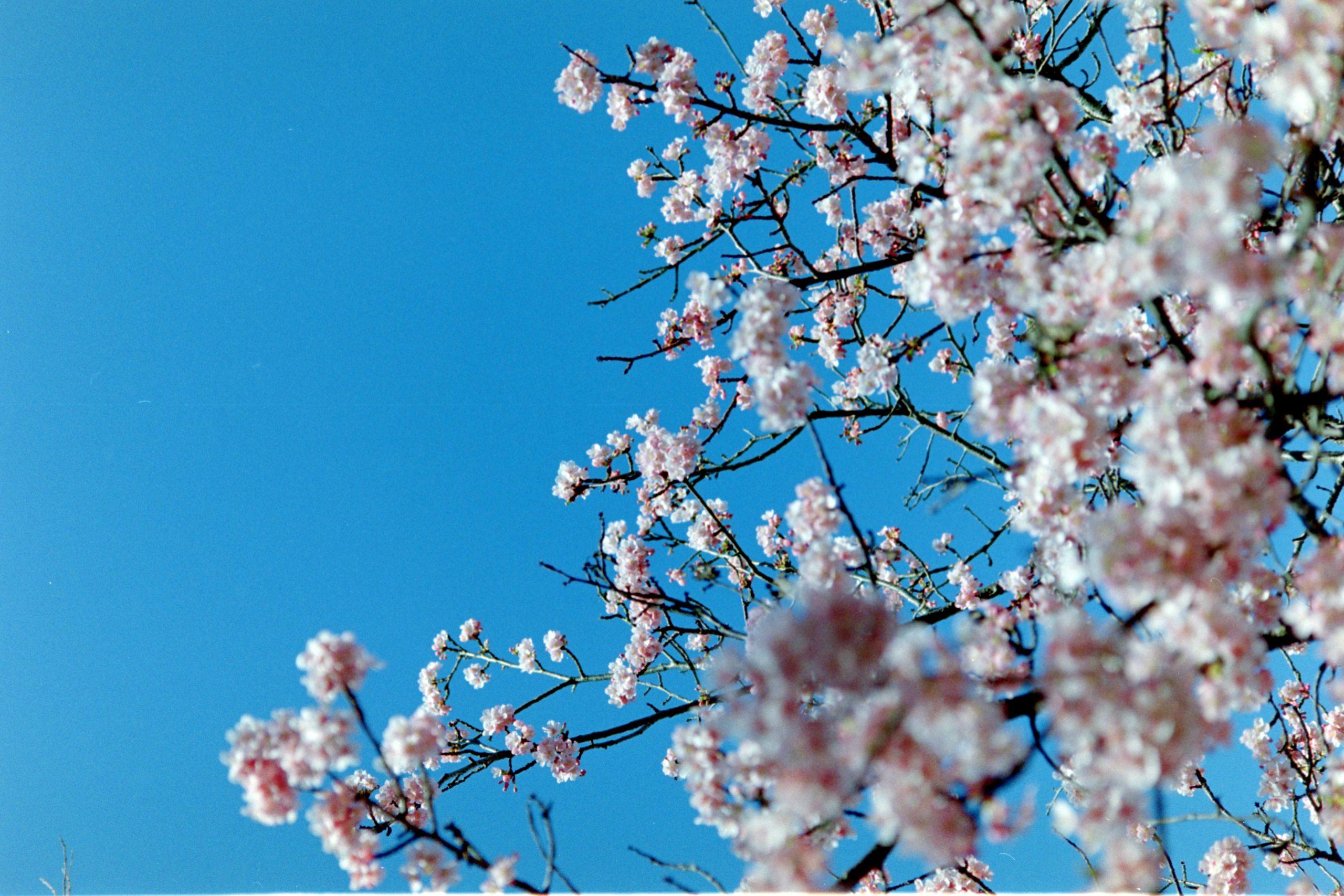 【CONTAX】今年の花見はフィルムスキャンで