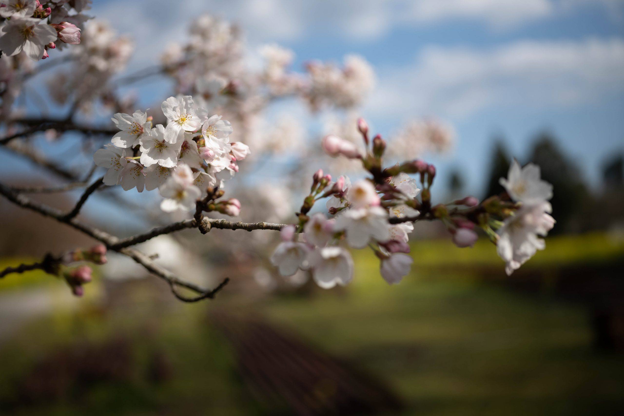 桜を近接50cmで