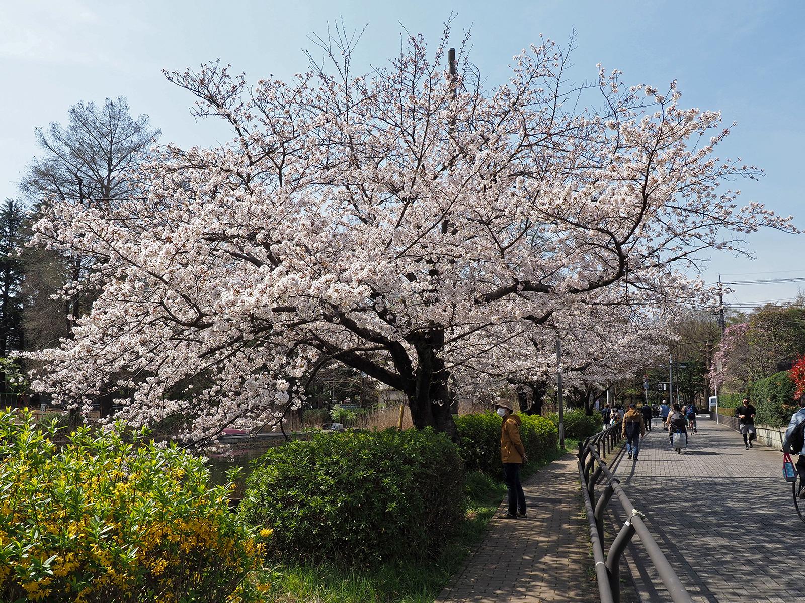 OM-D E-M1 Mark IIで撮り歩き~in 石神井公園~桜編