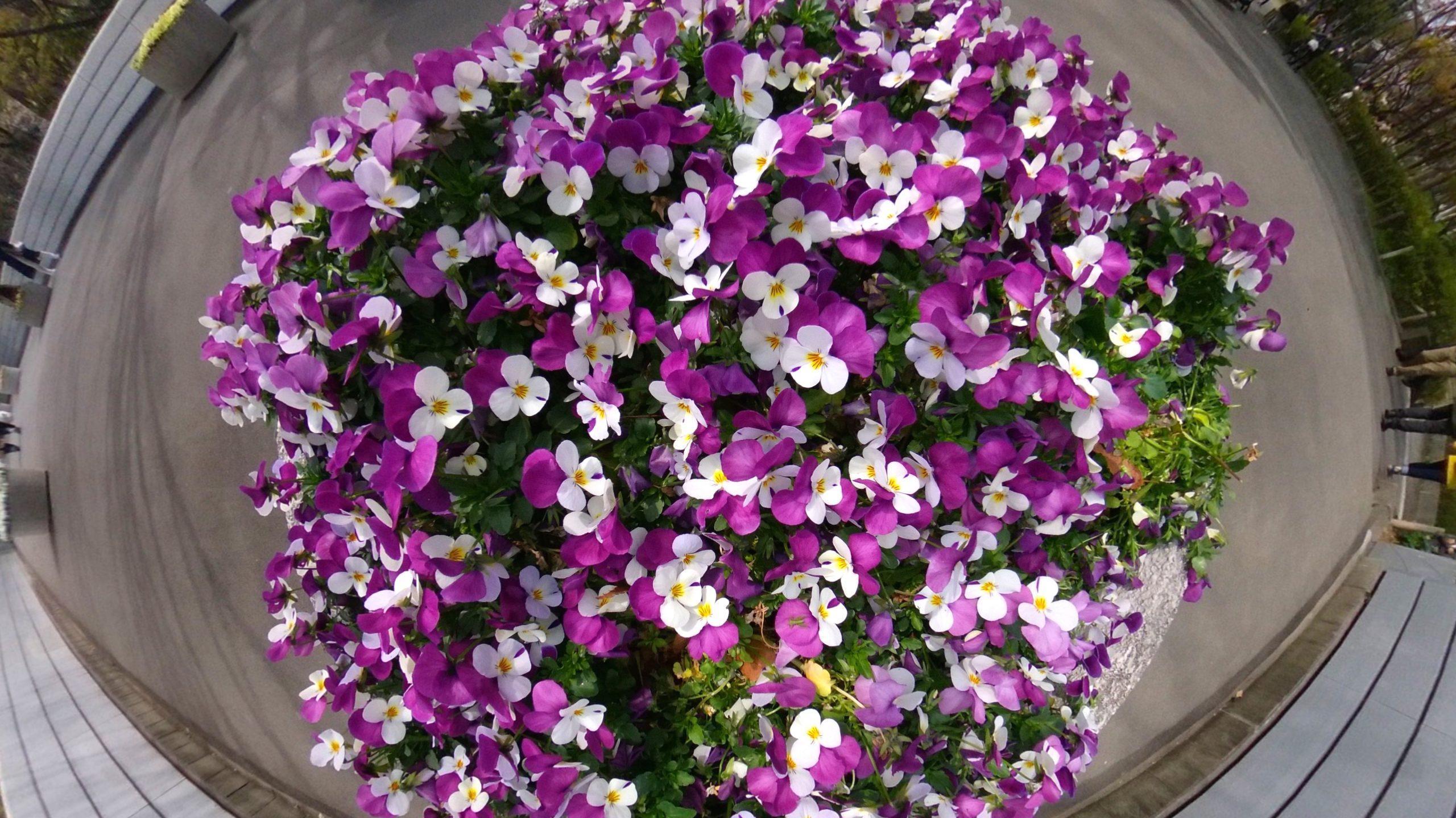 【RICOH】シータで撮るお花畑