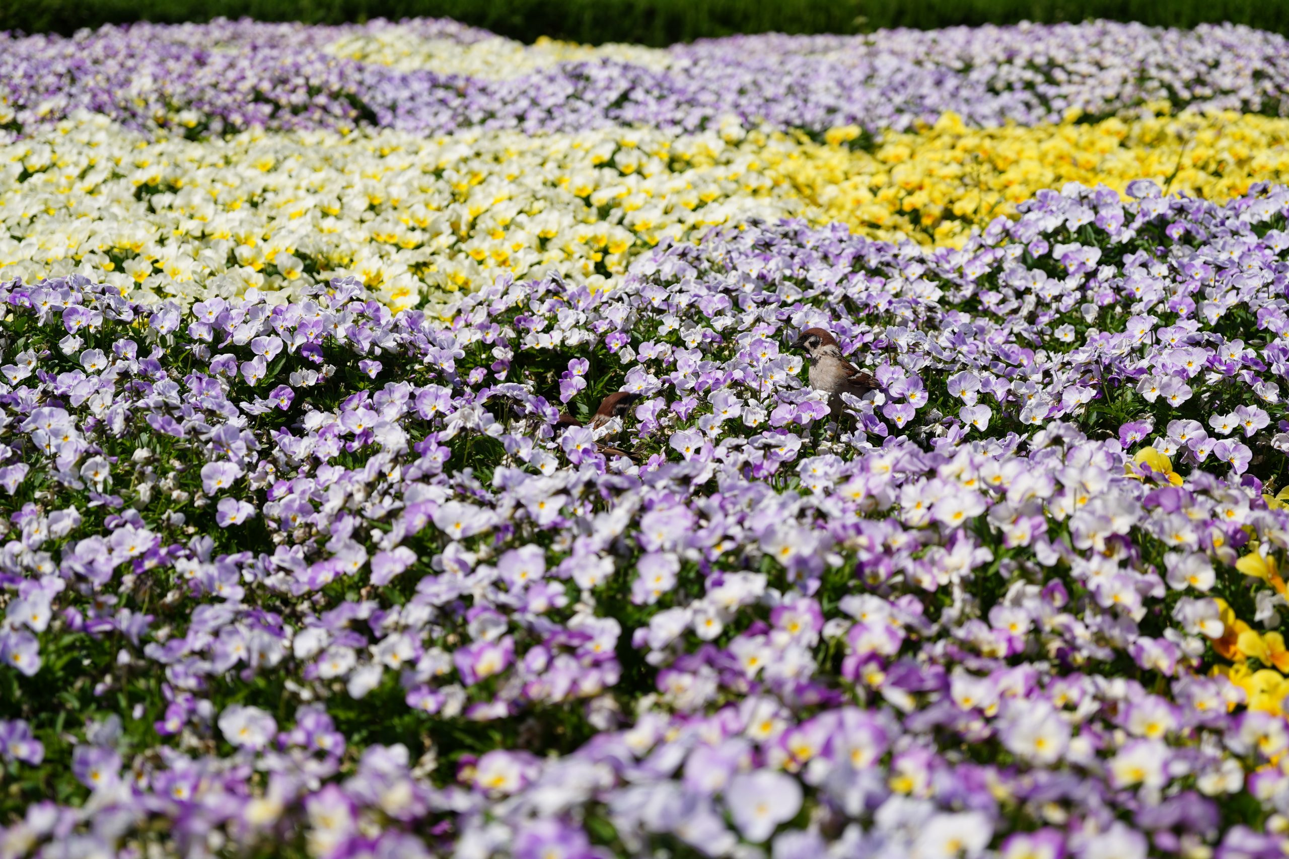【SONY】花の中の雀を超解像ズーム