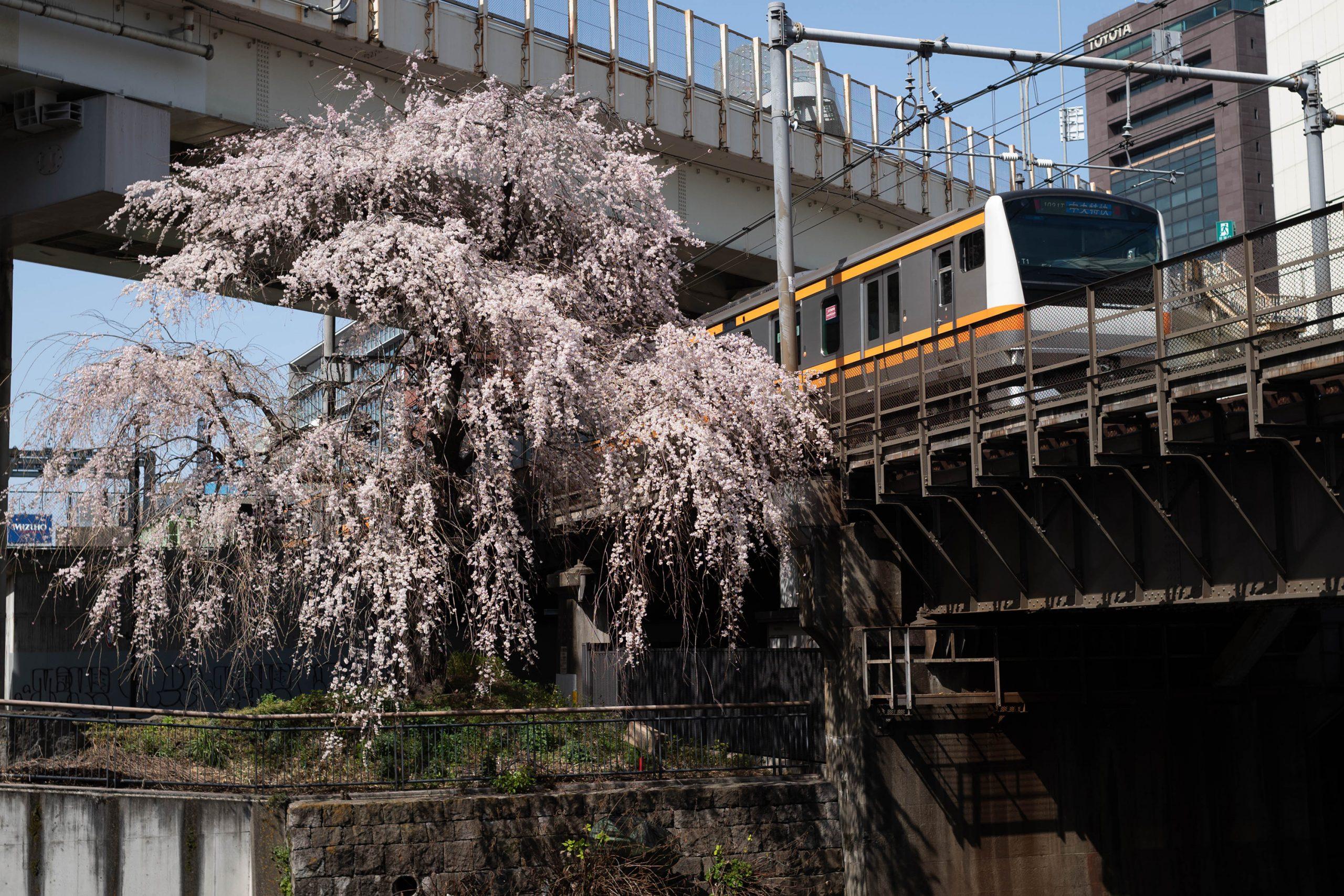 日本橋川の枝垂れ桜