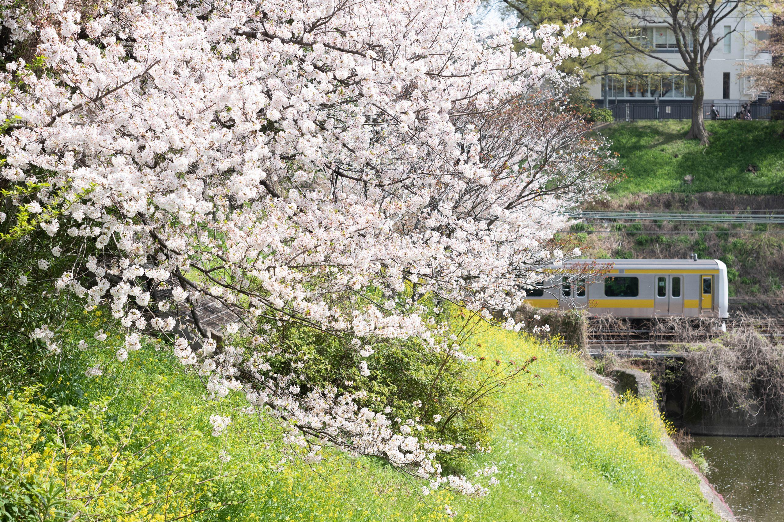 新見附橋の桜