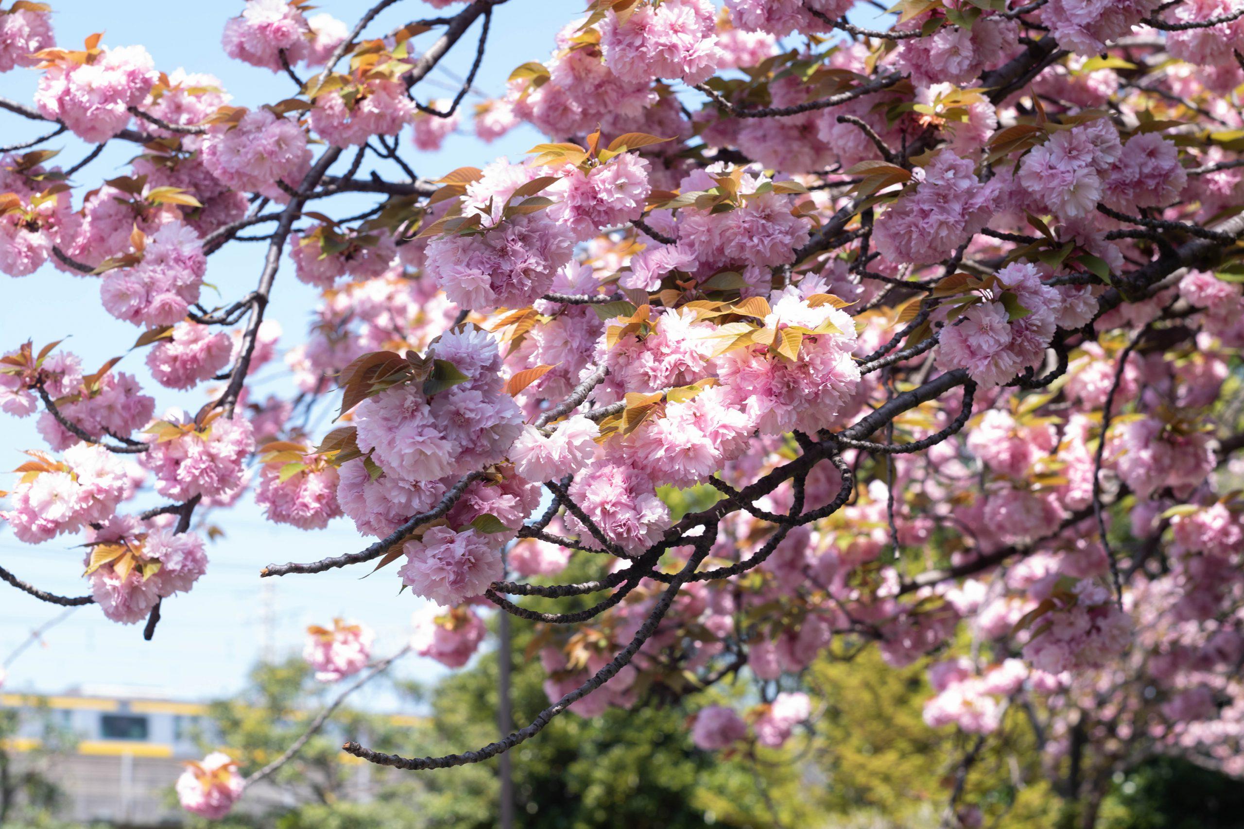 亀戸中央公園の八重桜