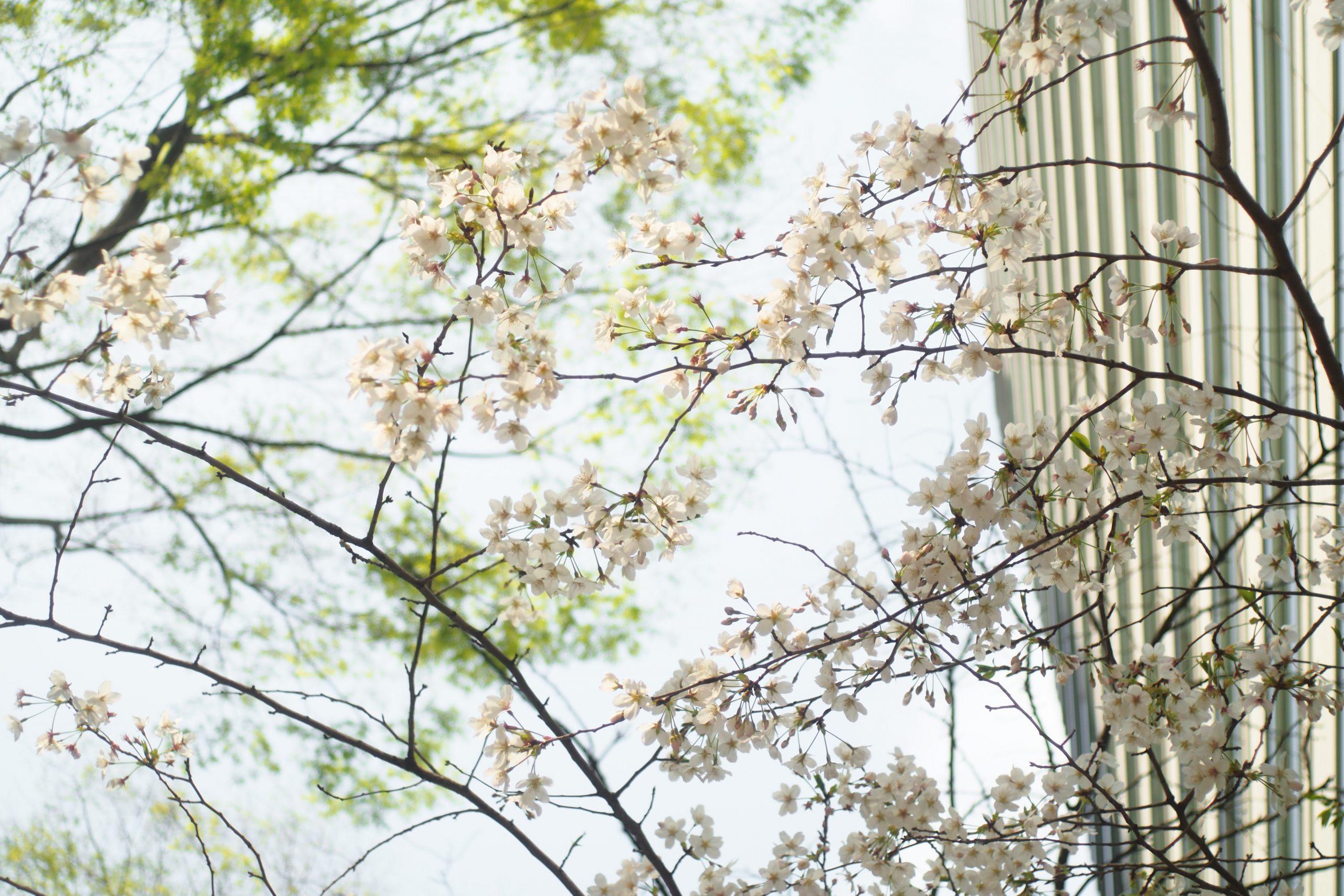 【OLYMPUS】PEN-FとM-ROKKORで春色探し。