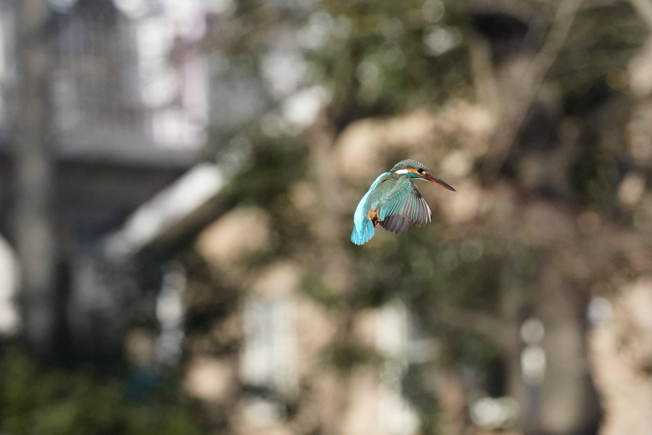 【SONY】清流の宝石「カワセミ」