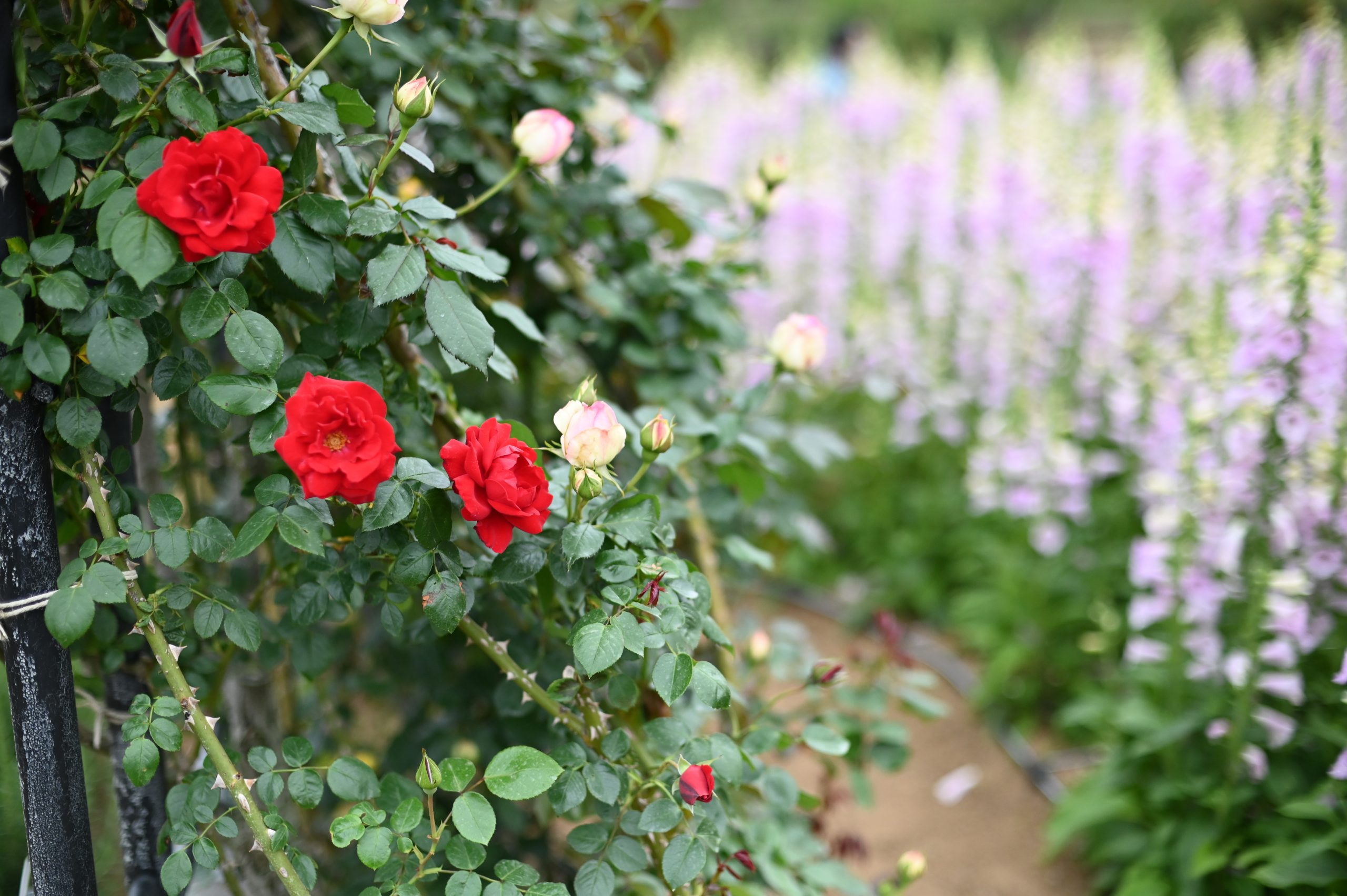 【Nikon】Z6IIにAF 50mm1.4Dの組み合わせでバラを撮りたい