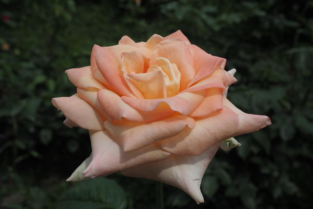 【OLYMPUS】薔薇と紫陽花、小さな柿の実