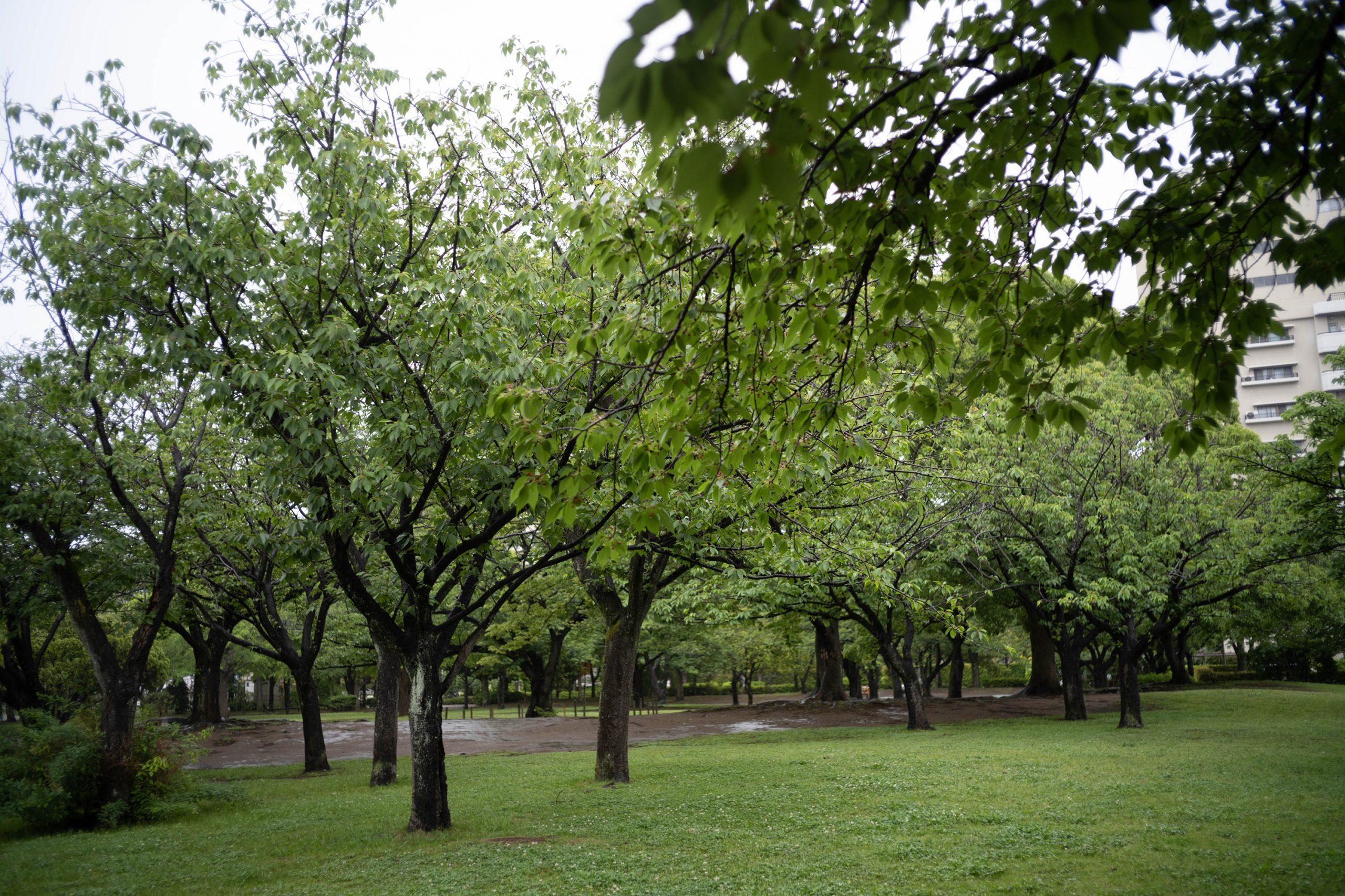 バラ園前の桜