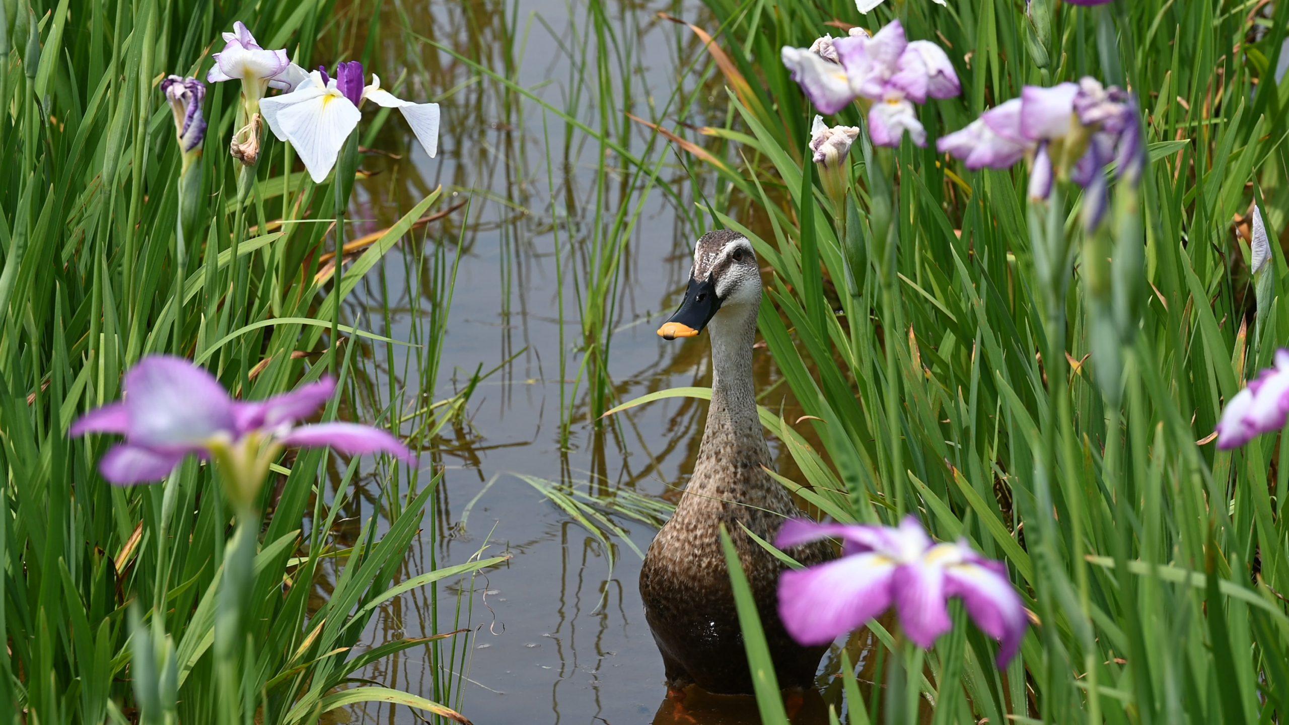 花菖蒲と鴨