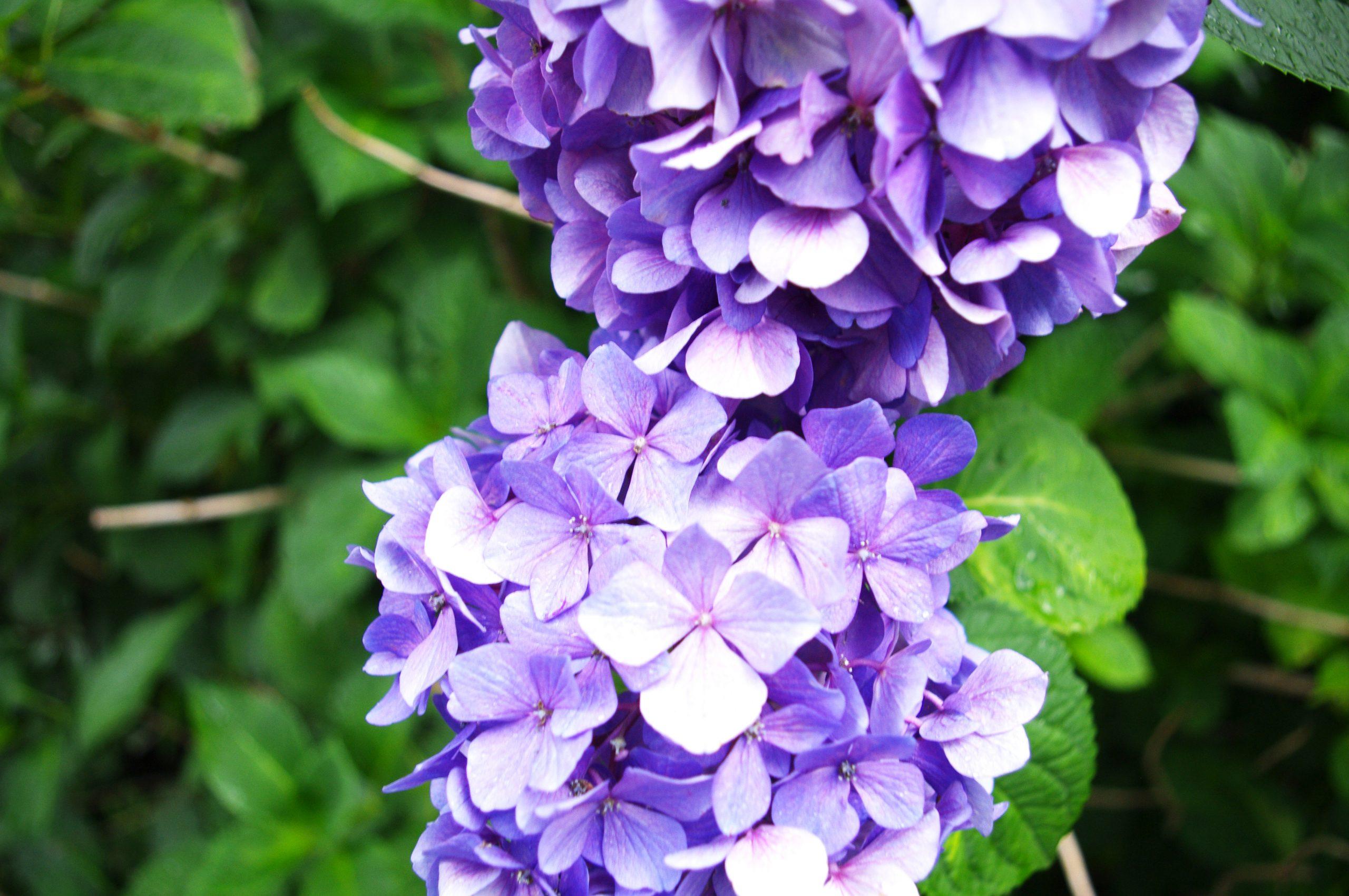 【PENTAX】紫陽花を撮る