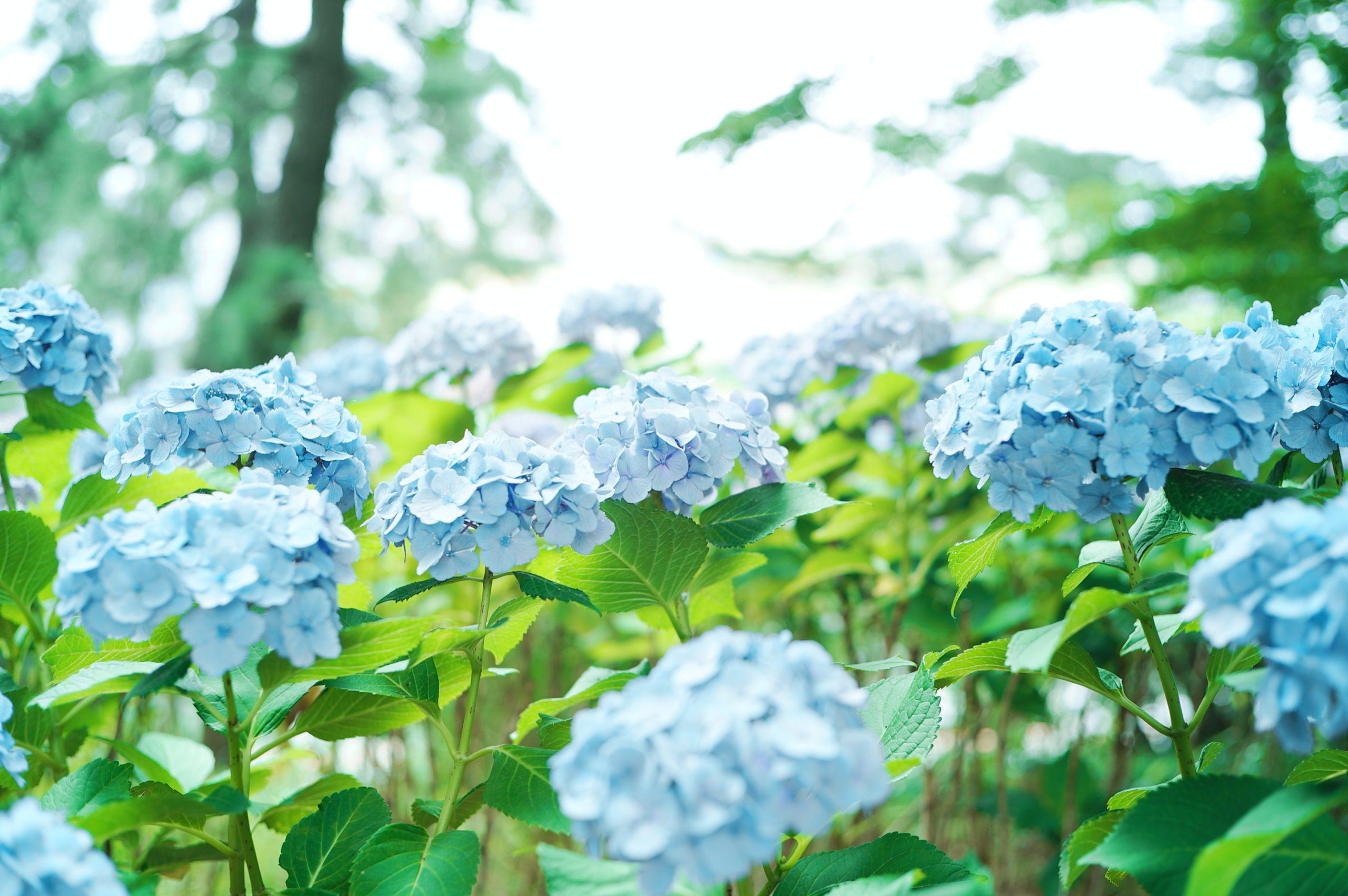 【SIGMA】紫陽花×パウダーブルー