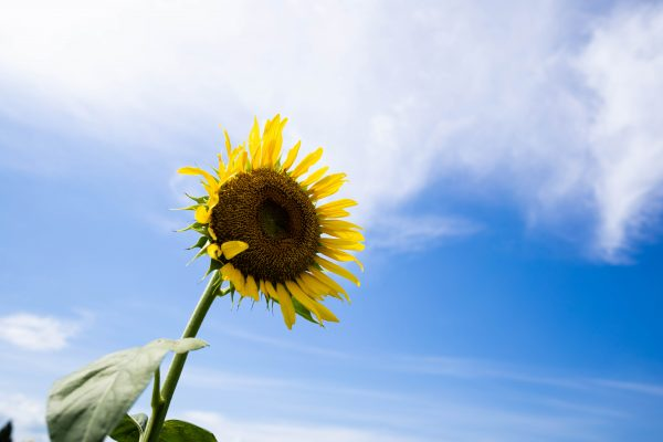 【SONY】真夏のひまわり