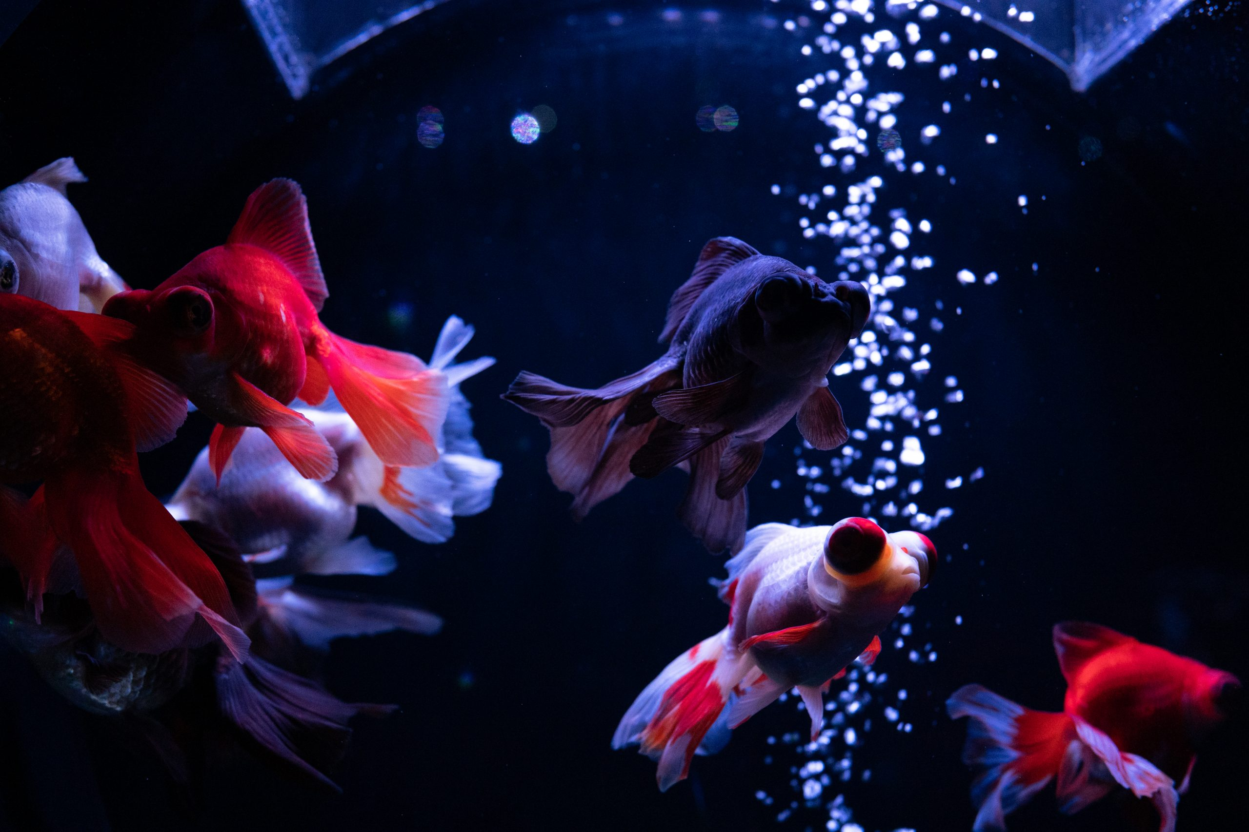【SONY】低照度の環境で金魚を撮影するチャレンジ