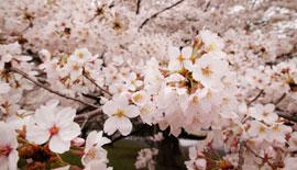 【SIGMA】dp0で桜を撮る!
