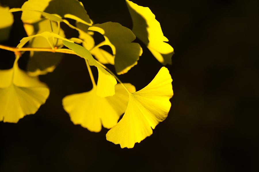 私の散歩道 ー黄葉紅葉まつりとX-T30-
