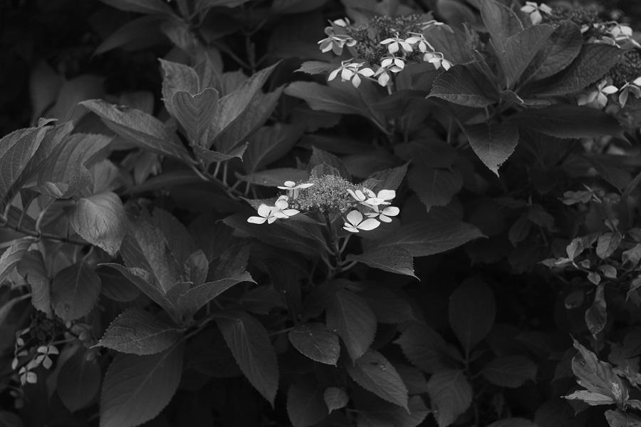 Leica Summar 50mm F2