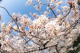 【Canon】桜の季節