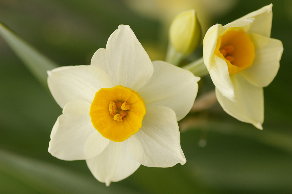マップカメラ | タイムズフォト | 水仙(日本水仙) | 花・自然