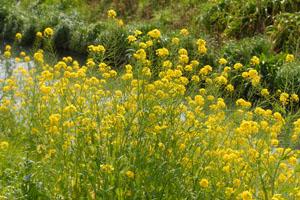 川岸に咲く菜の花