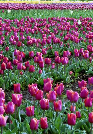 色とりどりのチューリップが咲きます
