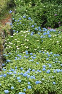 小田原城の石垣に咲く紫陽花
