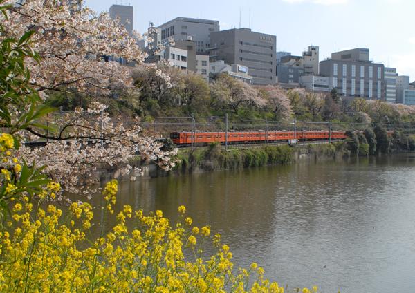 外堀の菜の花と桜越しに見る201系