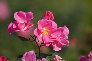 銀杏ピンクのバラ