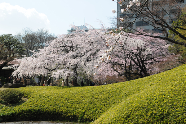 枝垂れ桜のコントラスト
