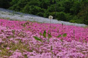 芝桜の中に咲くタンポポの綿毛