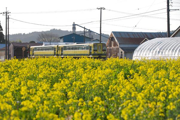 菜の花畑の脇を走るいすみ鉄道