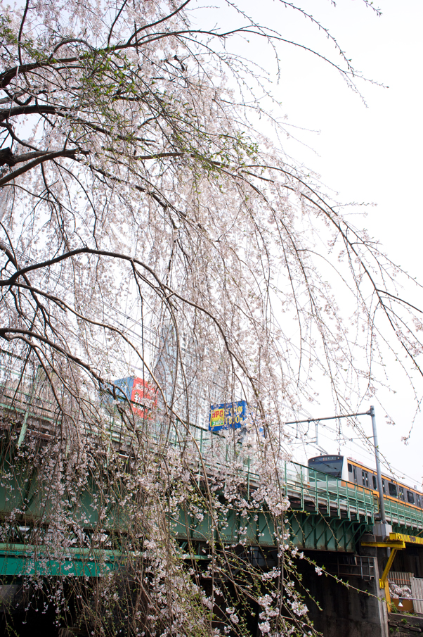 日本橋川のしだれ桜1