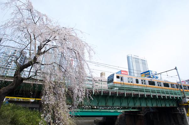 日本橋川のしだれ桜2