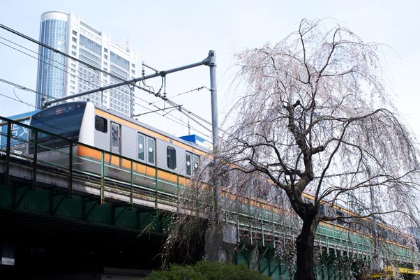 日本橋川のしだれ桜3