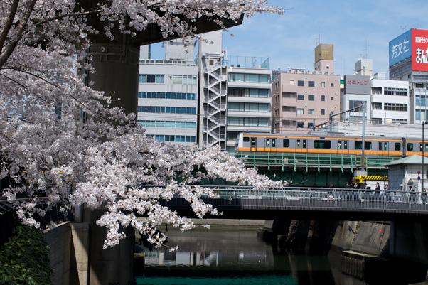 日本橋川の桜並木
