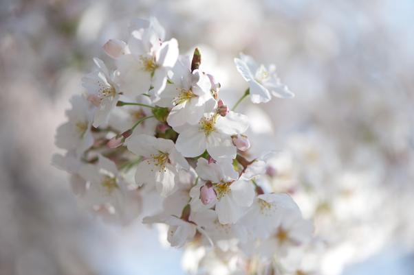 日本橋川の桜2